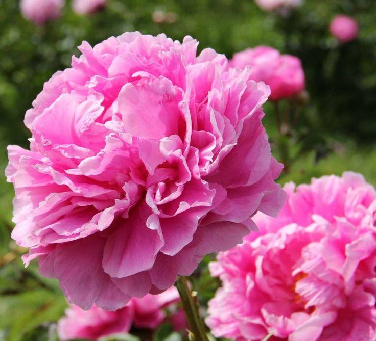 Cvetochnaja strana